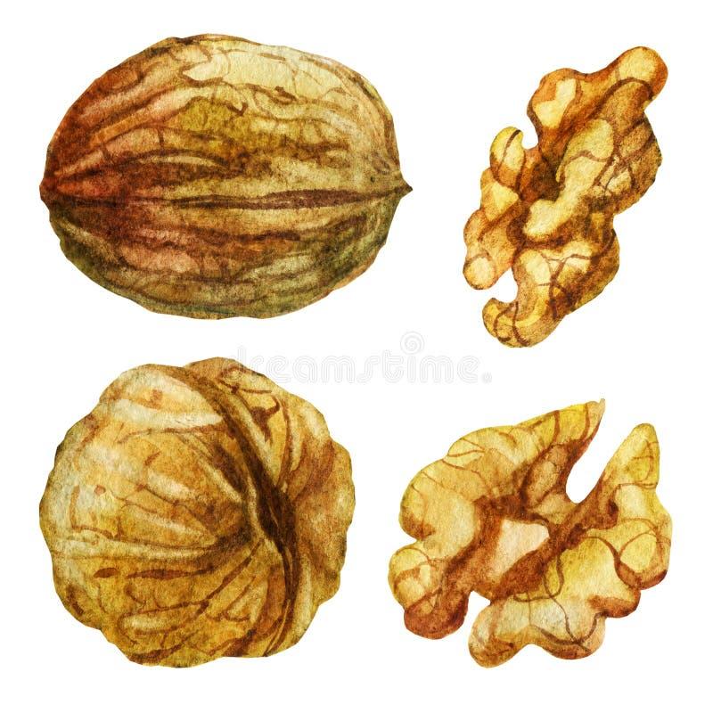 Ilustração da aguarela Noz dos sentidos diferentes Noz sem shell ilustração do vetor