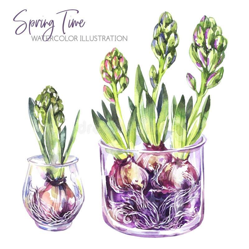Ilustração da aguarela Vasos de vidro com plântulas do jacinto Objetos rústicos e decoração home Coleção da mola na violeta ilustração royalty free