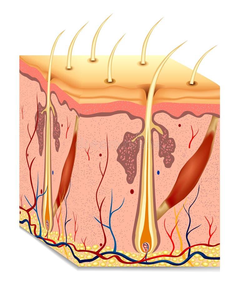 Ilustração da anatomia da estrutura do cabelo humano. Vetor ilustração royalty free