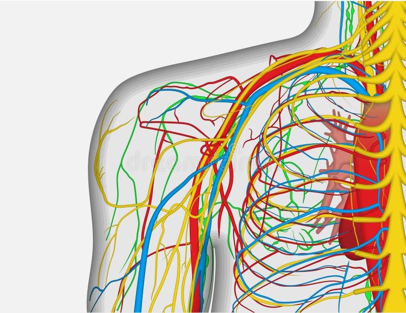 Ilustração da anatomia do ombro da parte traseira do ser humano com sistema nervoso e do sangue ilustração do vetor
