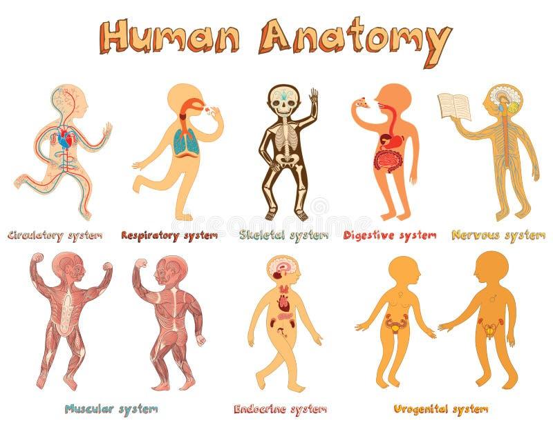 Ilustração da anatomia humana, sistemas de órgãos para crianças ilustração royalty free
