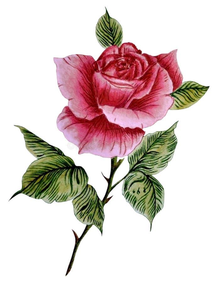Ilustração da aquarela com a uma rosa vermelha bonita ilustração royalty free