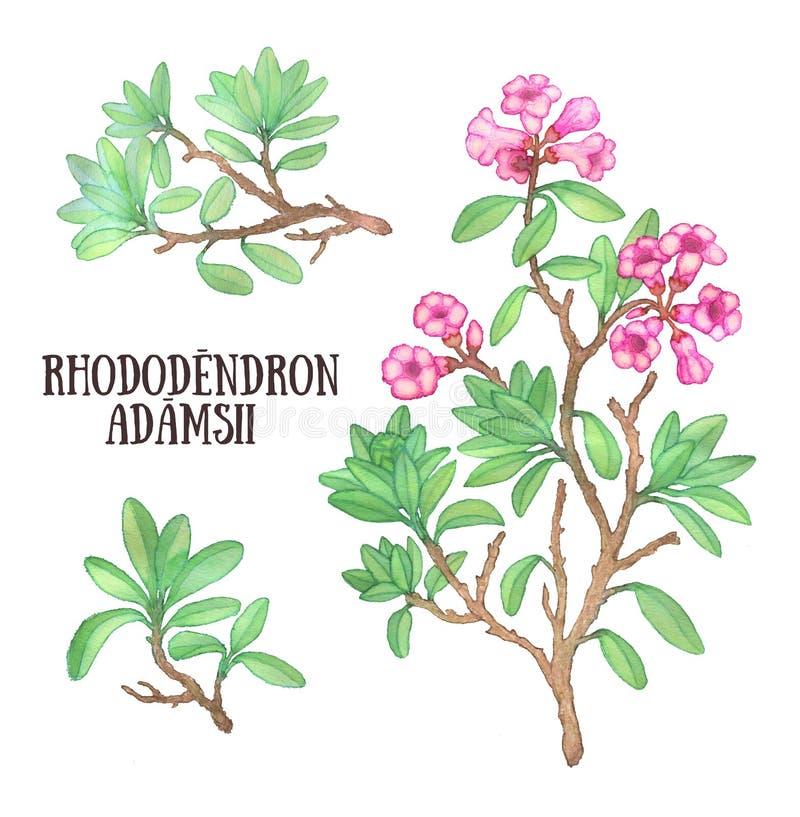 Ilustração da aquarela do arbusto do chá de Labrador do sagan-dali do adamsii do rododendro ilustração stock