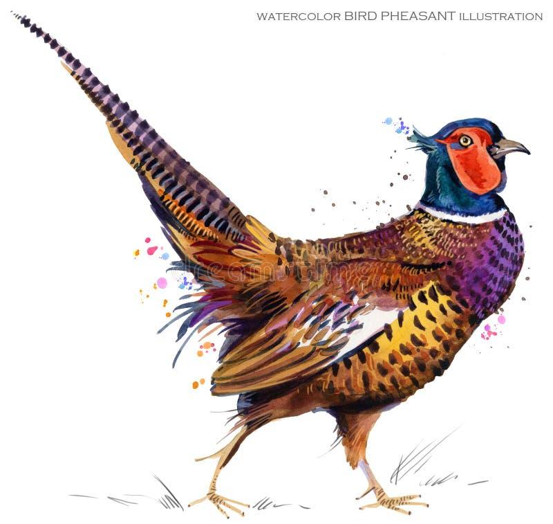 Ilustração da aquarela do faisão do pássaro ilustração do vetor