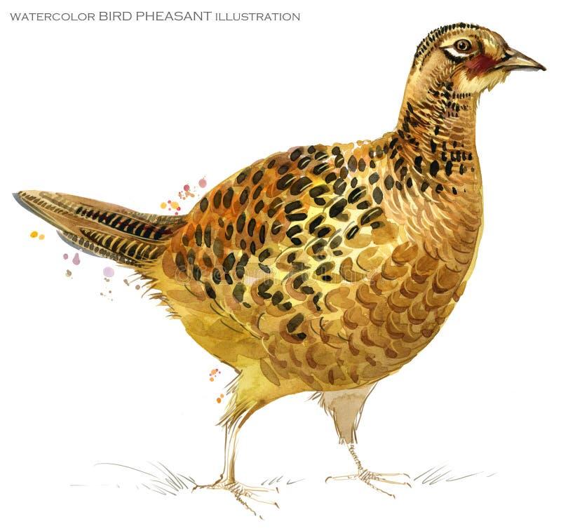 Ilustração da aquarela do faisão do pássaro ilustração stock