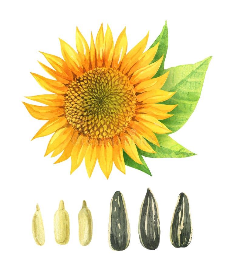 Ilustração da aquarela do girassol com as folhas e as sementes isoladas no fundo branco ilustração stock