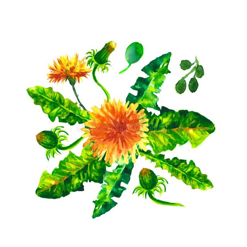 Ilustração da aquarela dos dentes-de-leão das flores Composição manual Sira de mãe ao dia do ` s, casamento, aniversário, Páscoa, ilustração stock