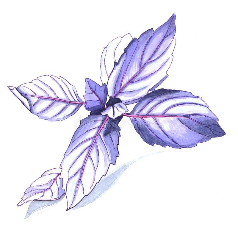 Ilustração da aquarela da erva de Violet Basil imagem de stock royalty free
