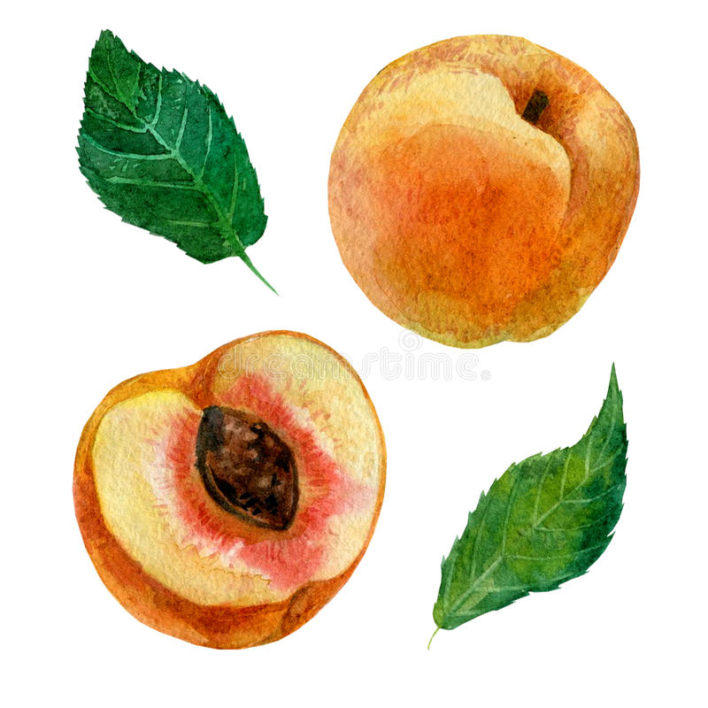 Ilustração da aquarela, uma imagem de um fruto de um pêssego, um pêssego do corte e folhas ilustração do vetor
