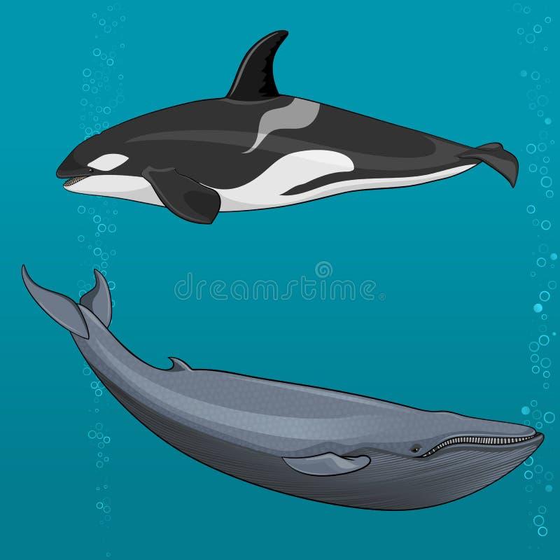 Ilustração da baleia azul e da baleia de assassino ilustração royalty free