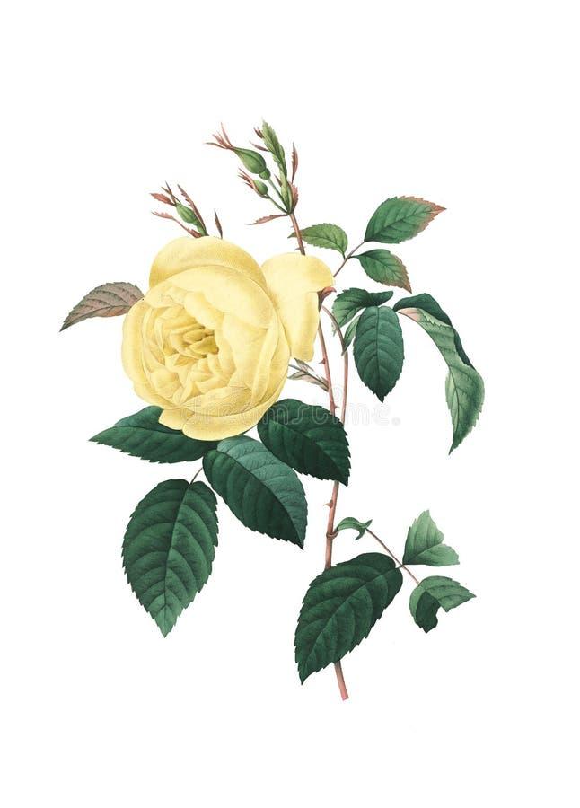 Ilustração da flor da antiguidade da rosa do amarelo ilustração do vetor