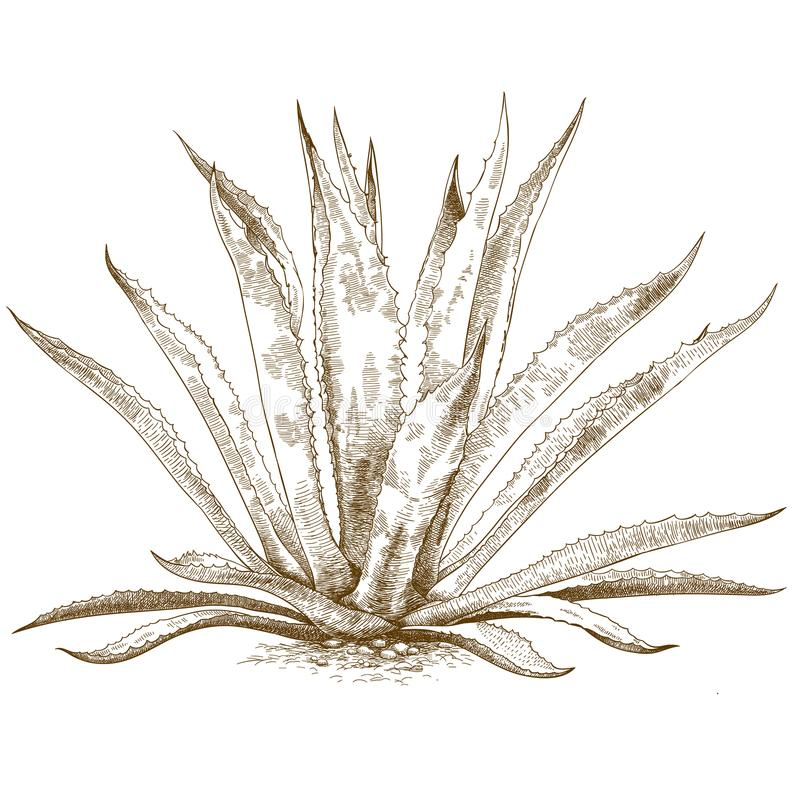Ilustração da gravura da agave azul ilustração do vetor