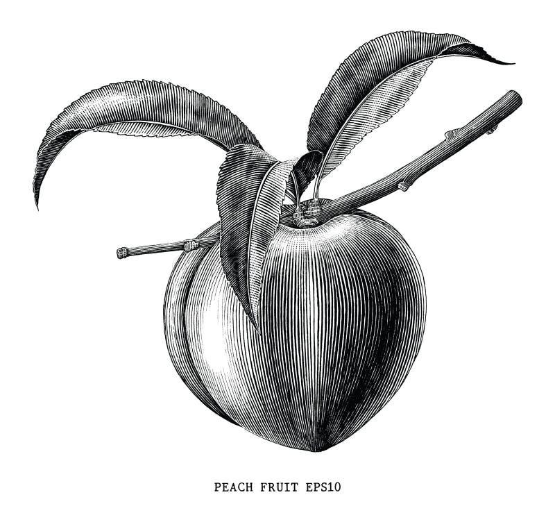 Ilustração da gravura do vintage do ramo do fruto do pêssego isolada no wh ilustração stock