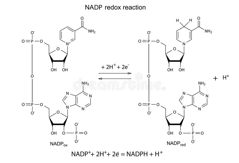 Ilustração da reação dos redox do NADP ilustração royalty free