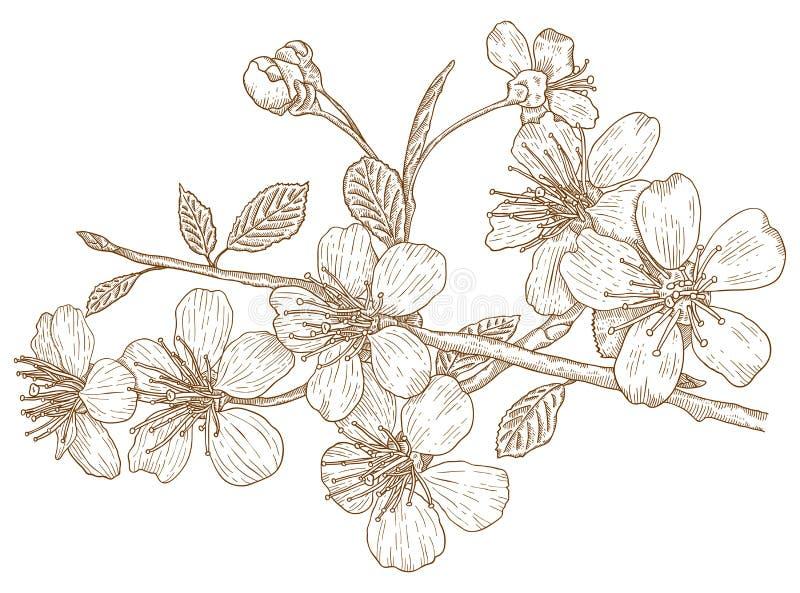 Ilustração das flores de cereja ilustração stock