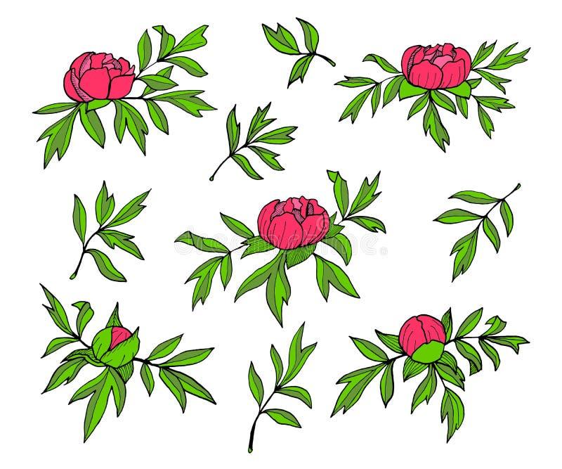 Ilustração das flores, dos botões e das folhas da peônia Grupo floral tirado mão isolado no fundo branco Simples colorido imagem de stock