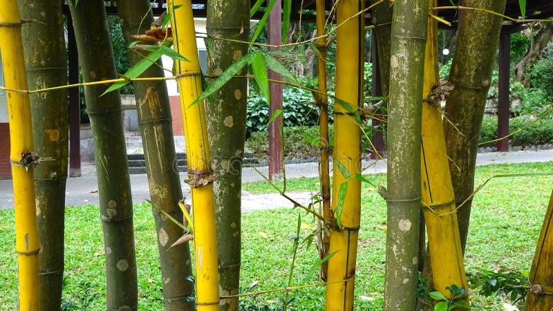 Ilustração de bambu dourada do fundo foto de stock