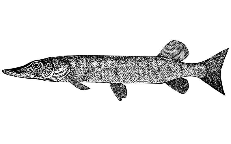 Ilustração de Esox Incius dos peixes ilustração royalty free