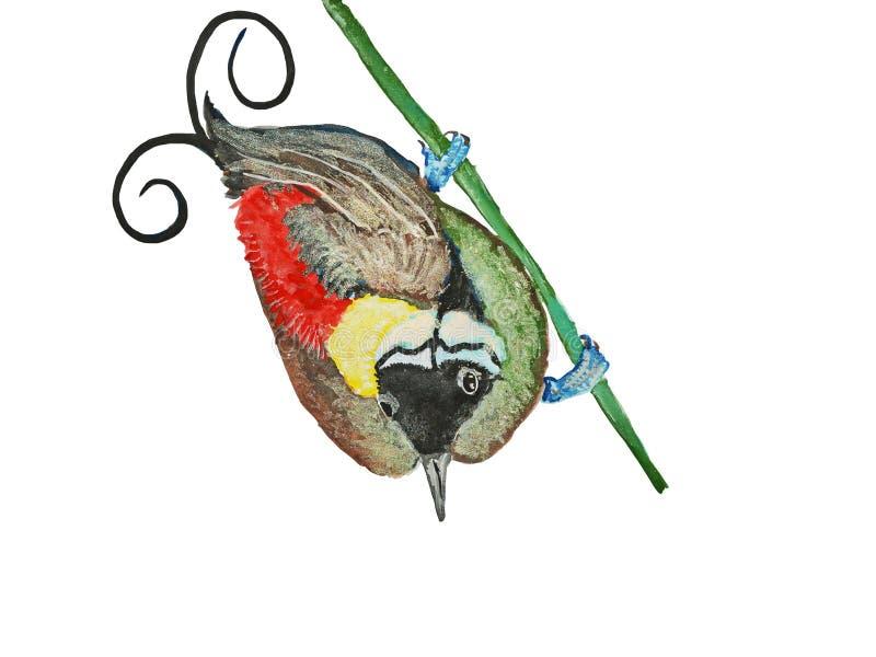 Ilustração de pássaro--Paradise de Wilson ilustração stock