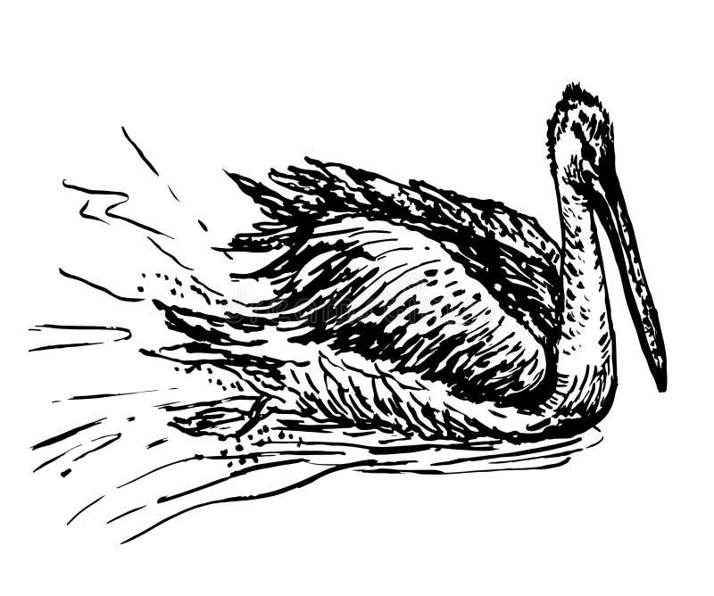 Ilustração de tiragem da tinta do esboço do pelicano branco ilustração stock
