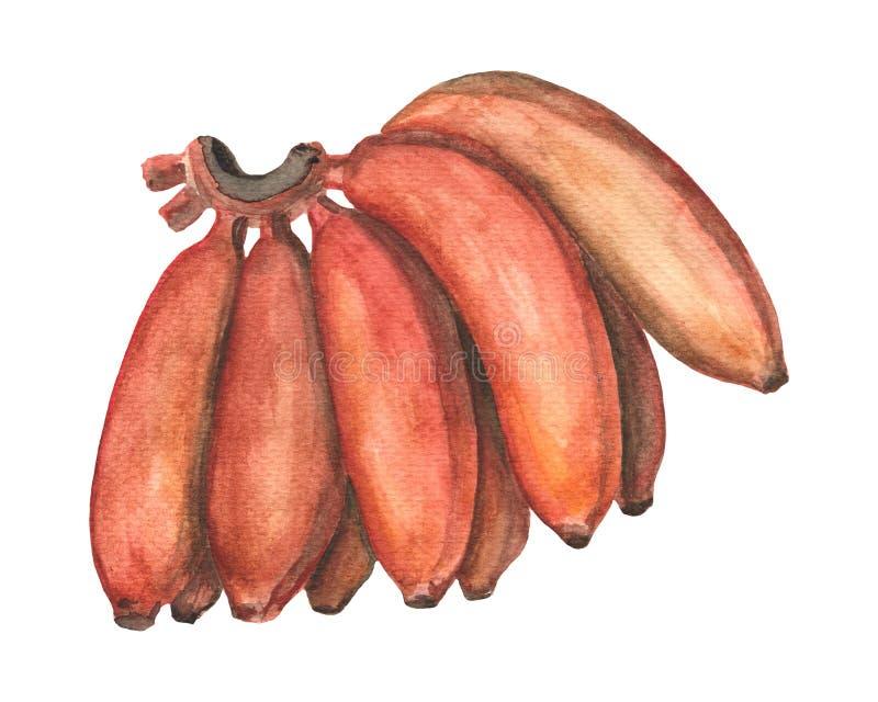 Ilustração desenhado à mão do grupo vermelho das bananas Pintura da aquarela do fruto tropical ilustração do vetor