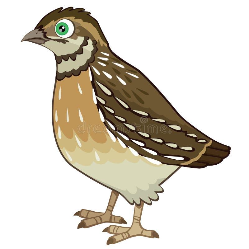 Ilustração detalhada do vetor dos desenhos animados das codorniz isolada no branco ilustração stock