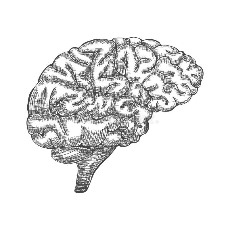 Ilustração do cérebro da gravura, ilustração anatômica tirada mão Vetor ilustração stock