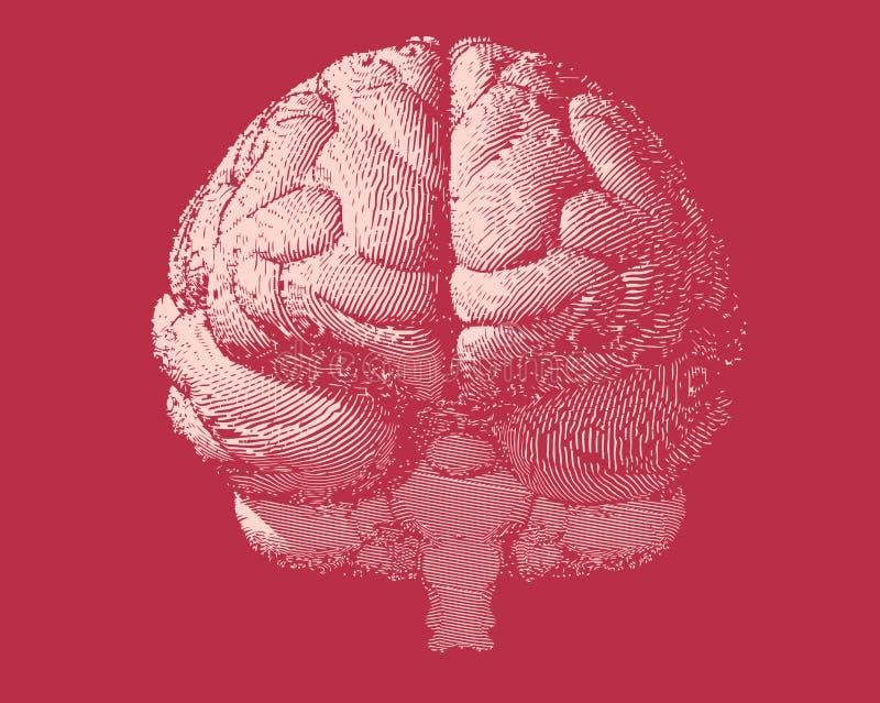 Ilustração do cérebro da gravura na vista dianteira na BG vermelha ilustração do vetor