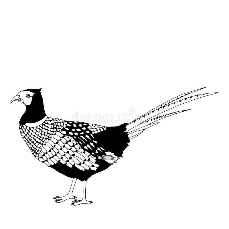 Ilustração do faisão ilustração do vetor