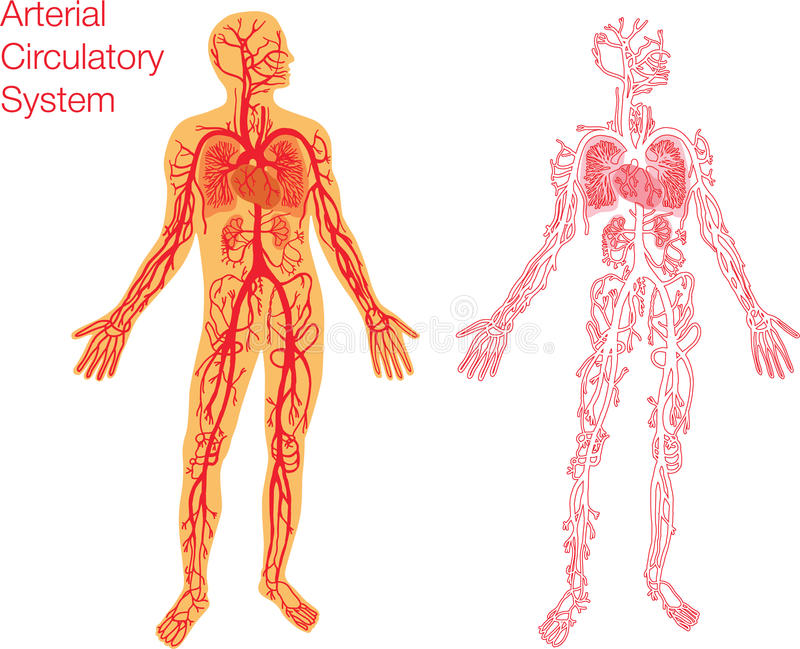 Ilustração do sistema circulatório ilustração stock