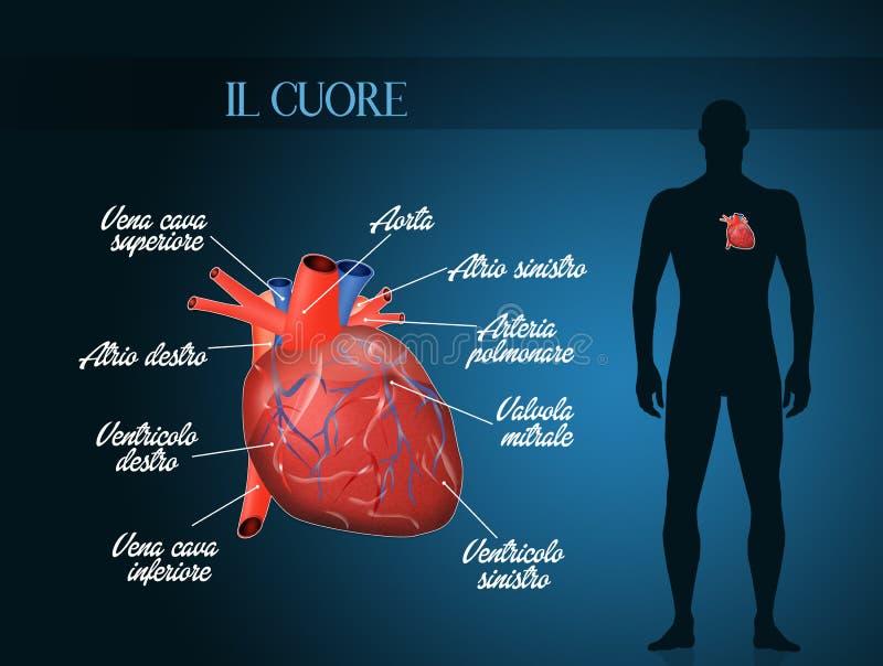 Ilustração do sistema de Cardiocirculatory ilustração stock