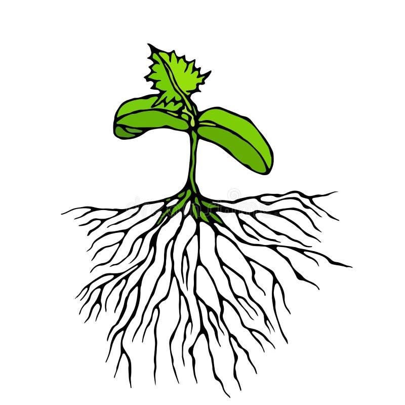 Ilustração do vetor do broto com três Leves e raizes Plântula, tiro, planta de jardinagem Árvores, flores, vegetais pepino, Z ilustração royalty free
