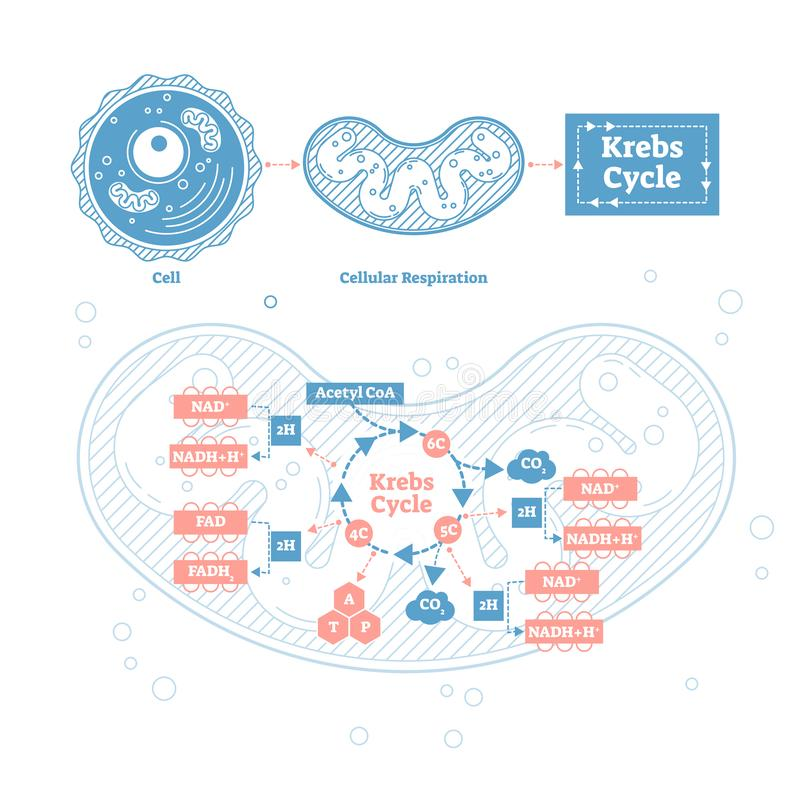 Ilustração do vetor do ciclo de Krebs Respiração celular etiquetada esquema do esboço ilustração royalty free