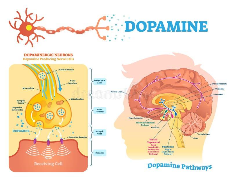 Ilustração do vetor da dopamina Diagrama etiquetado com seus ação e caminhos ilustração royalty free