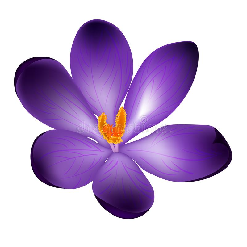 Ilustração do vetor da flor do açafrão isolada no fundo branco ilustração royalty free