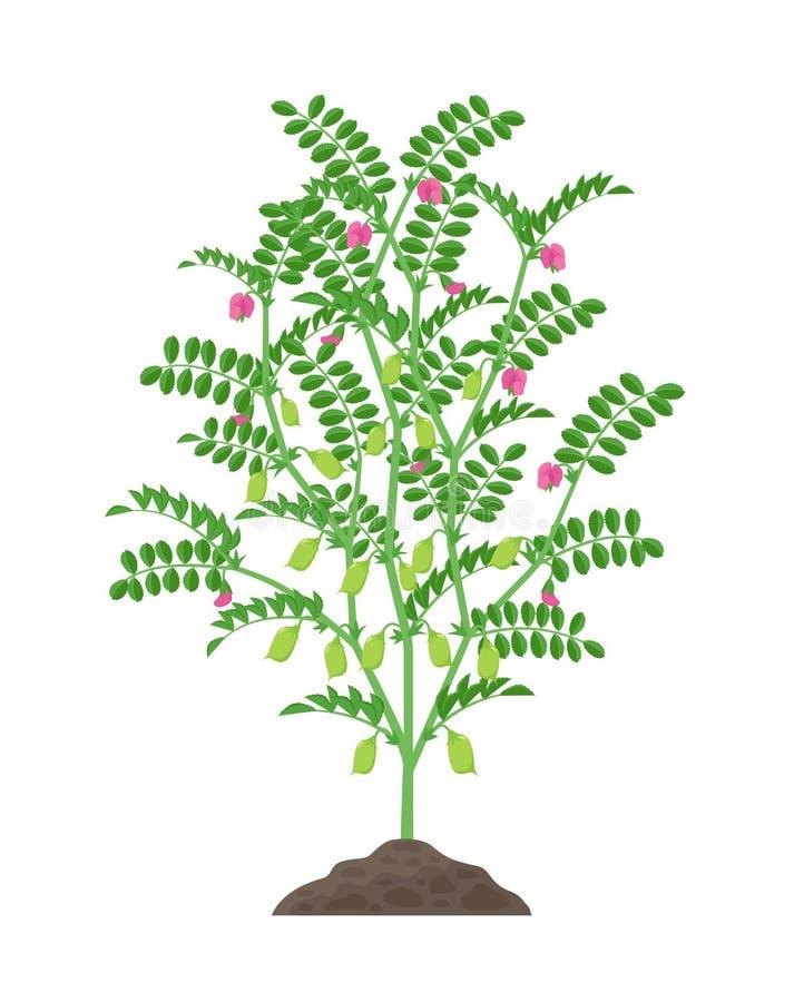 Ilustração do vetor da planta de grão-de-bico isolada no fundo branco Florescência do grão-de-bico e planta frutífero com verde ilustração stock