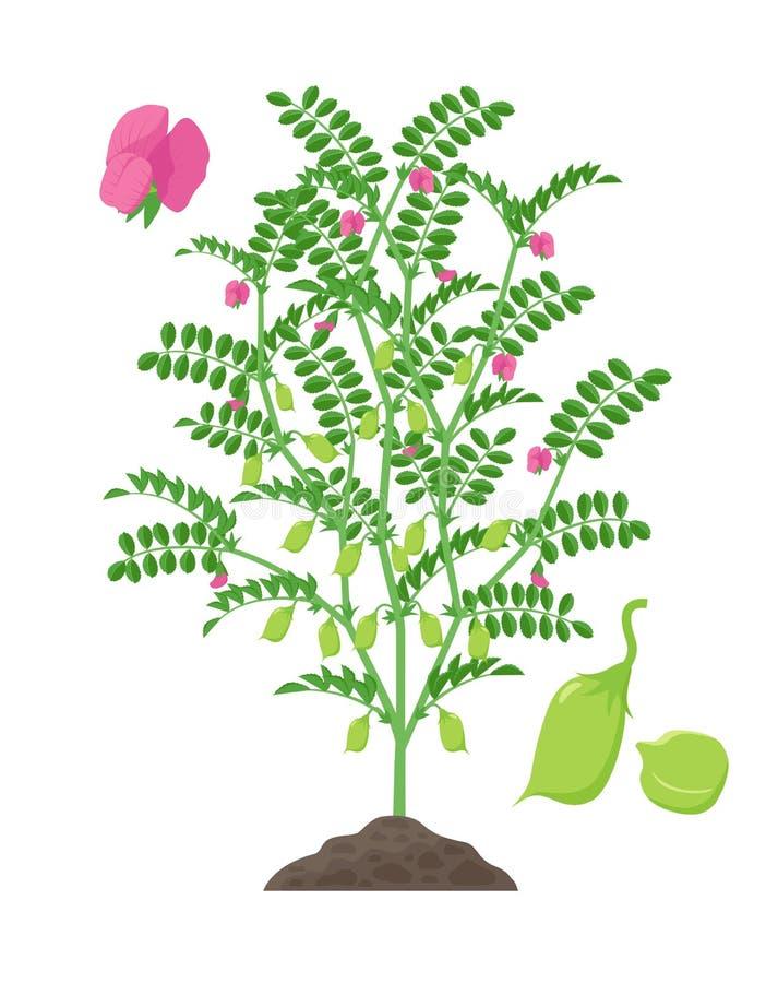 Ilustração do vetor da planta de grão-de-bico isolada no fundo branco Florescência do grão-de-bico e planta frutífero com verde ilustração do vetor