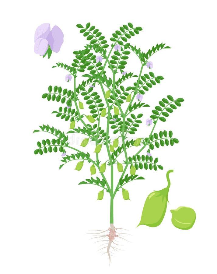 Ilustração do vetor da planta de grão-de-bico isolada no fundo branco Grãos-de-bico e florescência e planta frutífero com ilustração do vetor