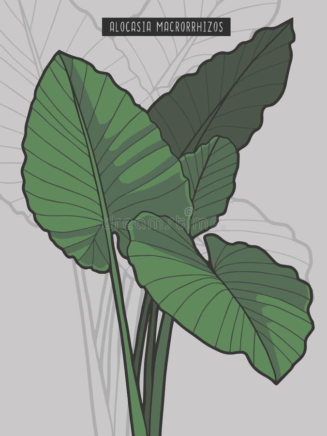 Ilustração do vetor da planta tropical da floresta úmida do Taro gigante de Macrorrhizos do Alocasia ilustração royalty free