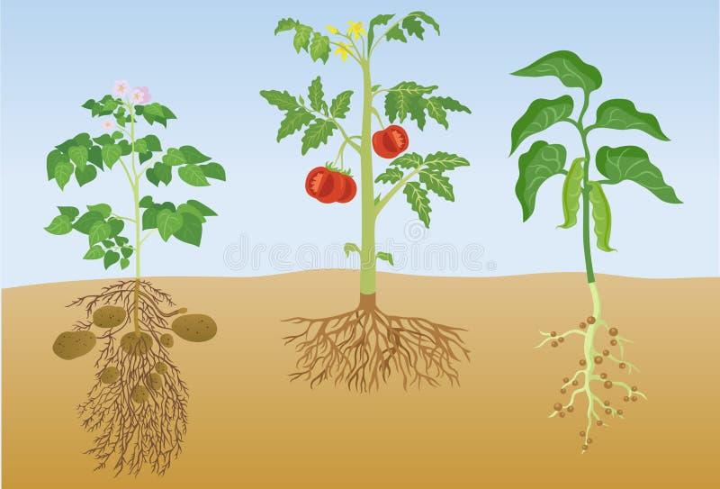 Ilustração do vetor das plantas da batata, do tomate e da porca ilustração do vetor