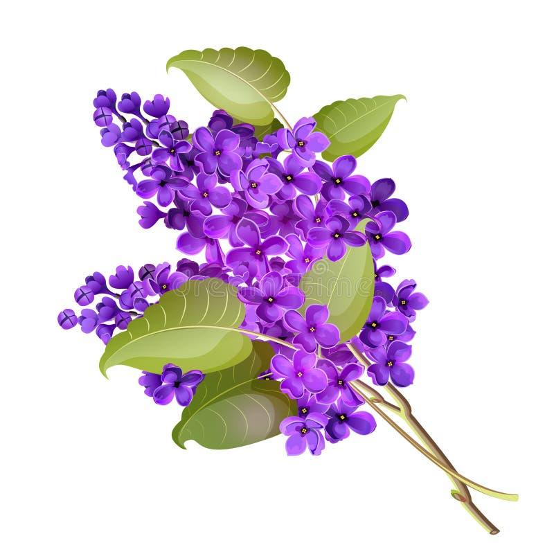 Ilustração do vetor de um ramo do lilás foto de stock royalty free