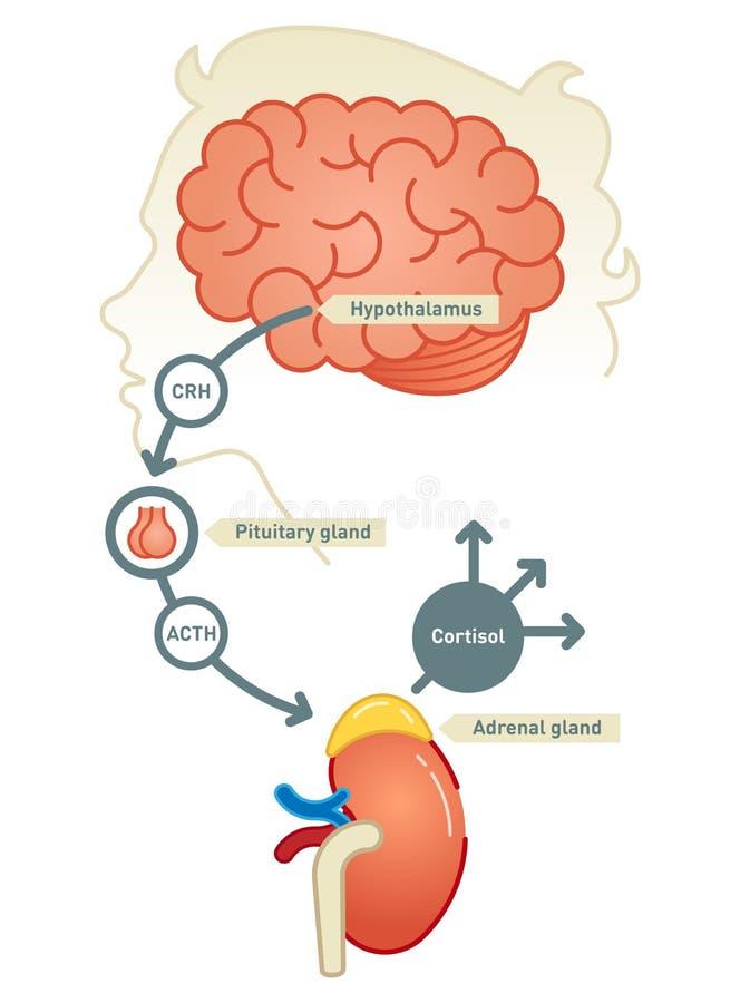 Ilustração do vetor do diagrama do cortisol ilustração royalty free