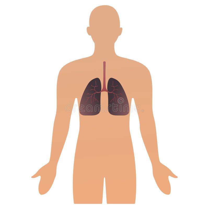 Ilustração do vetor dos órgãos humanos silhueta anatômica humana do homem com órgão pulmões cuidados médicos do conceito da ilust ilustração stock