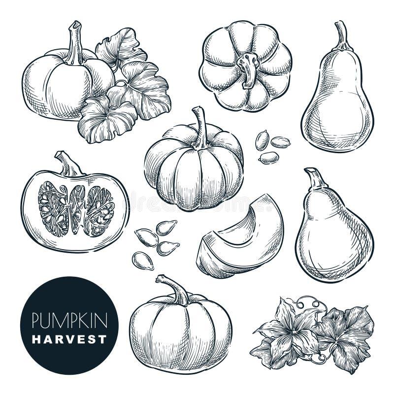 Ilustração do vetor do esboço das abóboras Agricultura tirada mão da colheita da cabaça do outono, elementos isolados exploração  ilustração do vetor