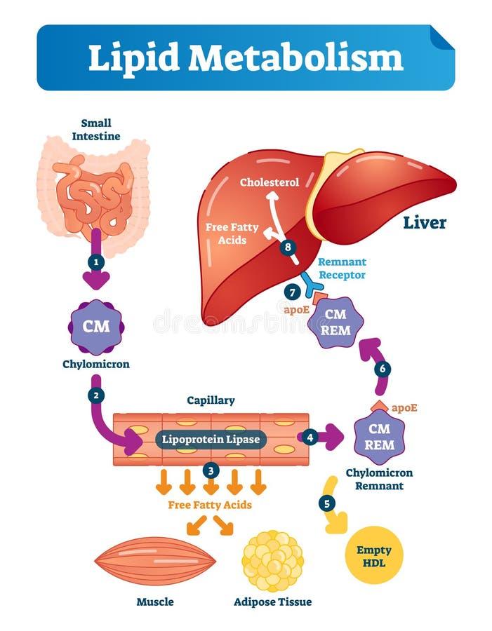 Ilustração do vetor do metabolismo de lipido infographic Esquema médico etiquetado ilustração stock