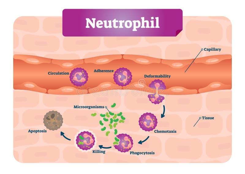 Ilustração do vetor do neutrófilo Esquema educacional com capilar etiquetado, circulação, aderência, deformabilidade, e fagocitos ilustração stock