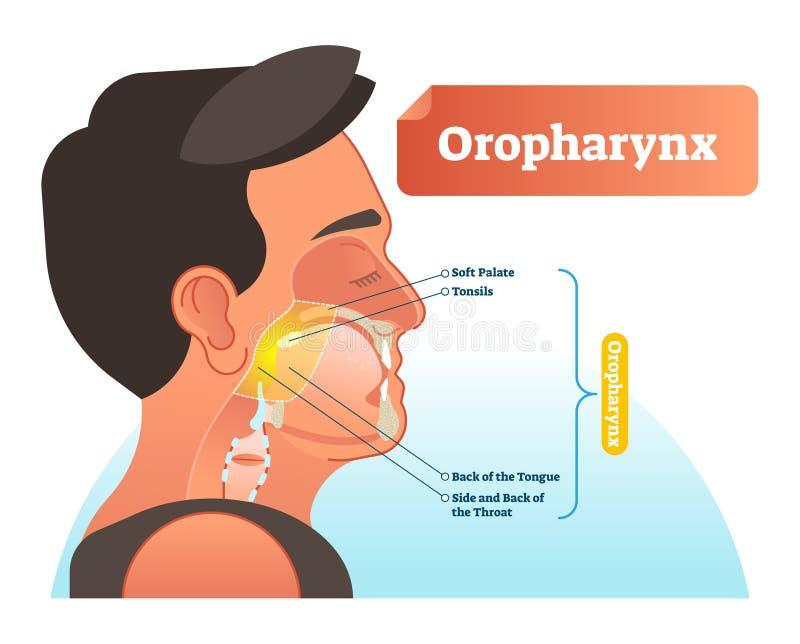 Ilustração do vetor do Oropharynx Esquema etiquetado anatômico com palete macio humano, amídalas, parte traseira da língua e lado ilustração do vetor