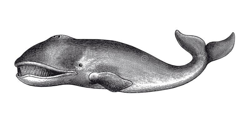 Ilustração do vintage da gravura da baleia de Gronelândia ilustração stock