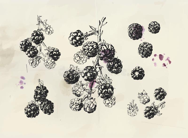 Ilustração do vintage de Blackberry Ramo tirado mão isolado da amora-preta ilustração do vetor