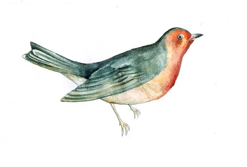 Ilustração do watercolour do pássaro do pisco de peito vermelho fotografia de stock